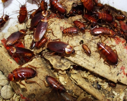 cucarachas1