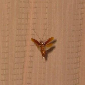 cucaracha volando