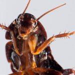 curiosidades-cucaracha