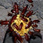 plaga-cucarachas
